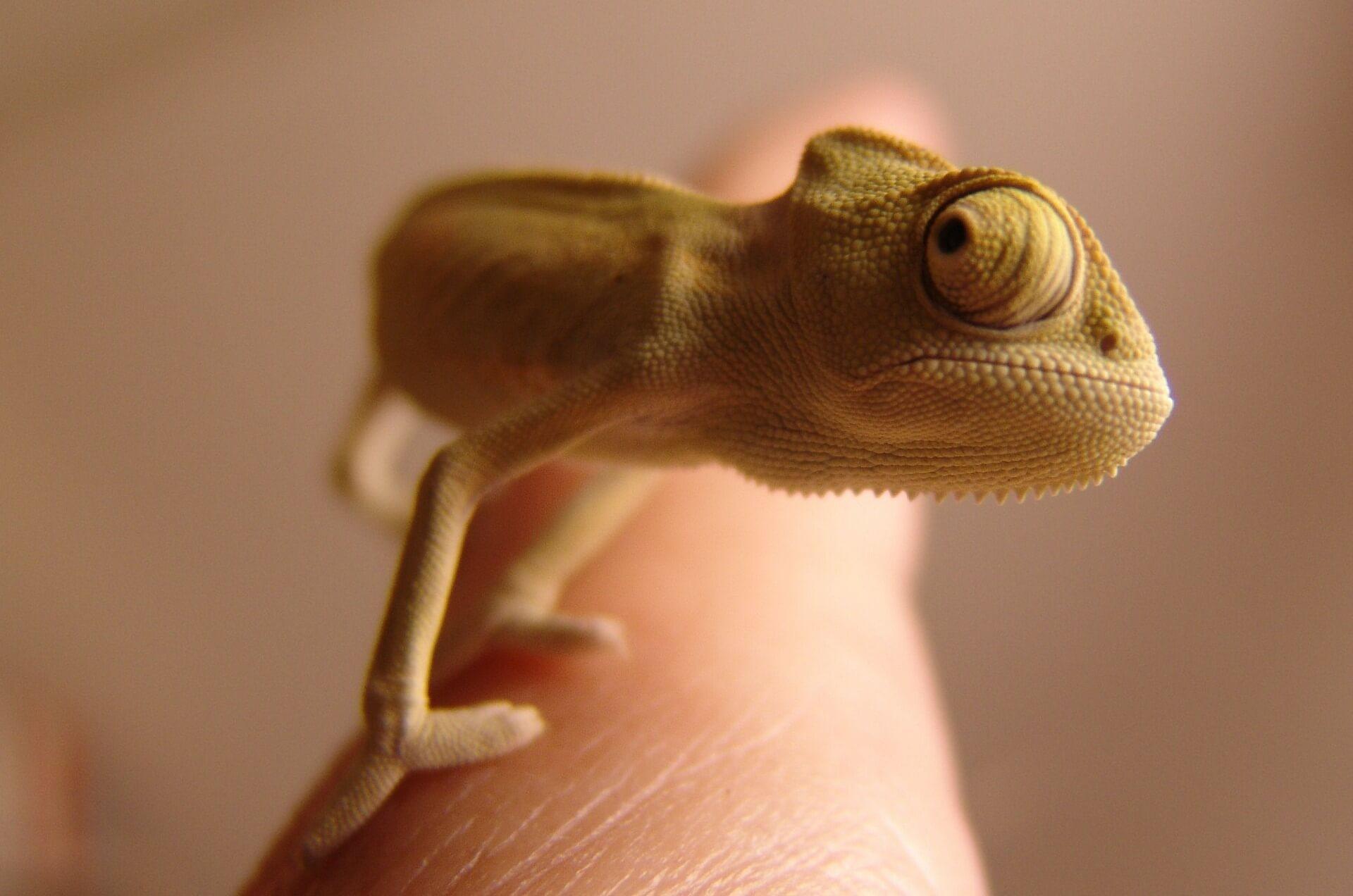 opfer chameleon 276603 1920