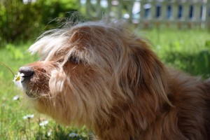 Hund_schnuppernd