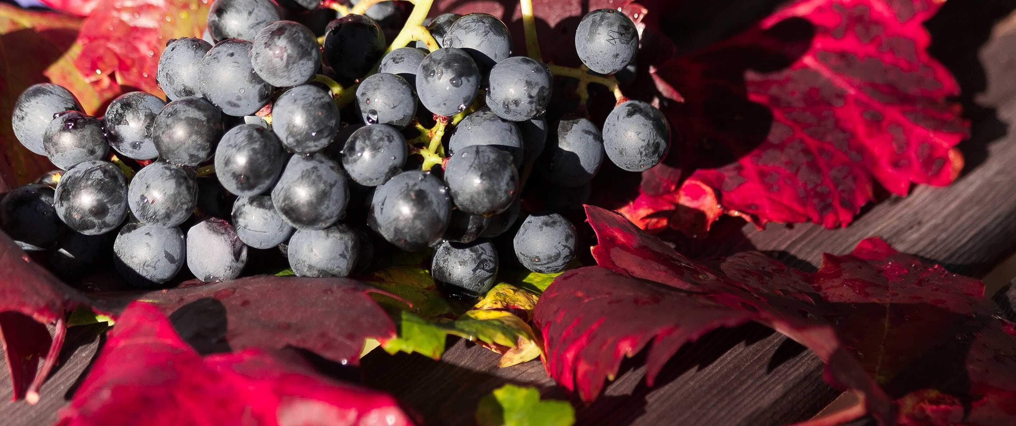 Trauben roteBlätter 1 von 1