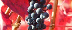 Rote Trauben mit Herbstlaub