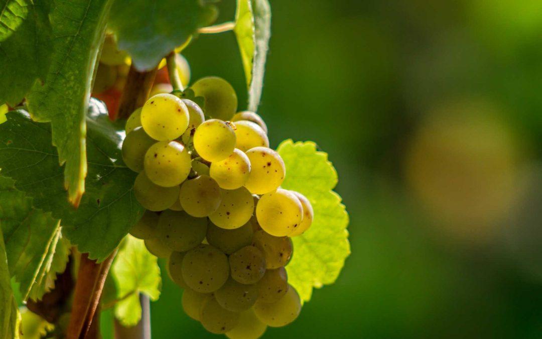 Chardonnay – der Geschmack der großen weiten Welt