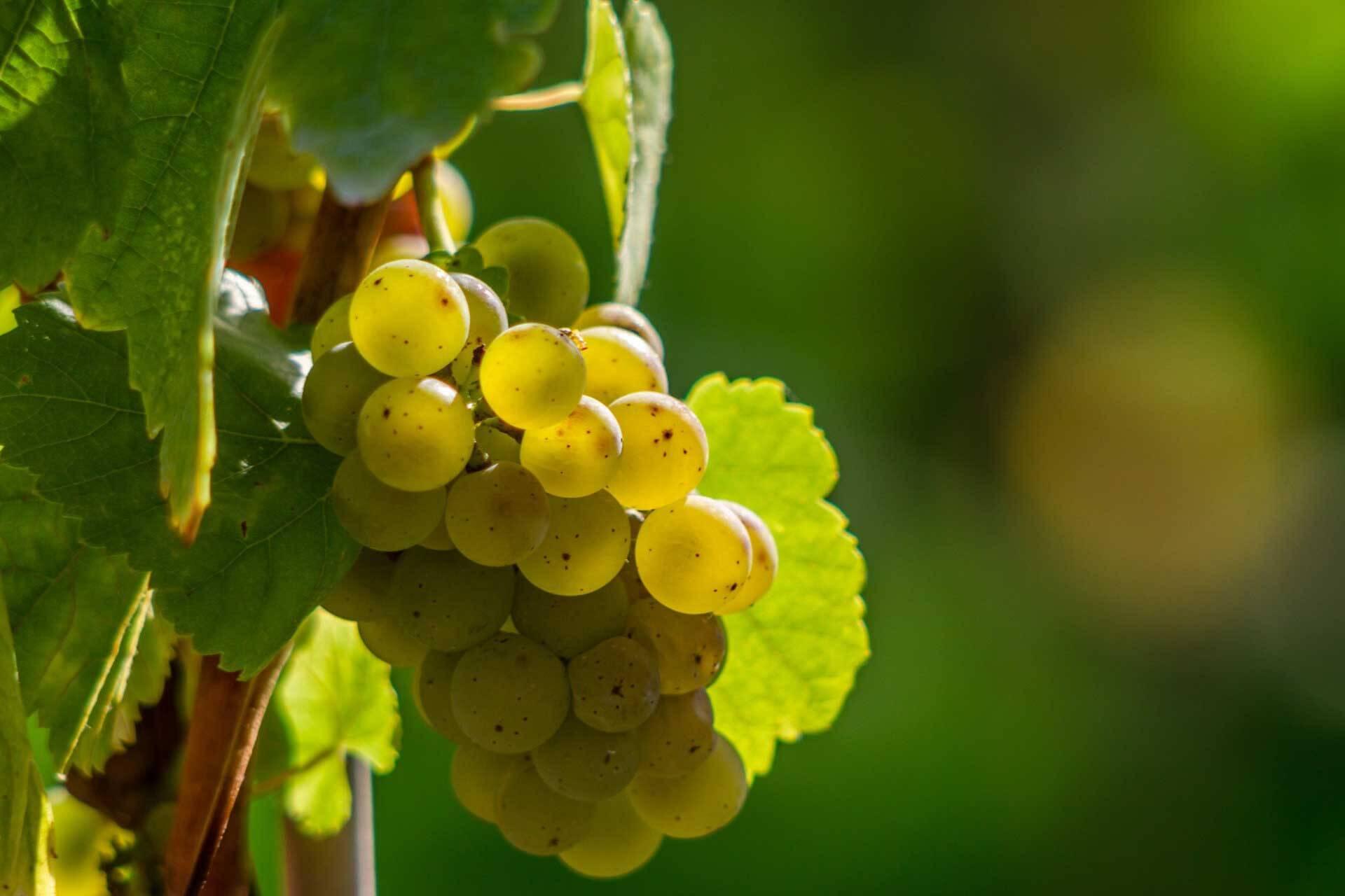 Chardonnay – der Geschmack der großen weiten Weinwelt