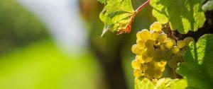 Chardonnay-9