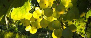 Chardonnay_2-1-2