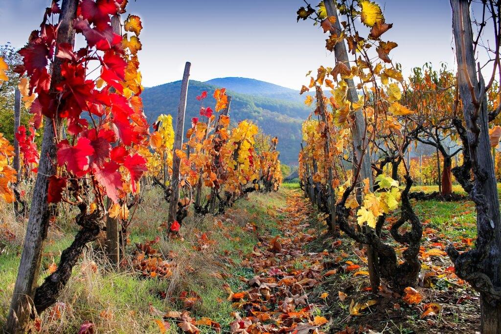 Rotwein Herbstfaerbung