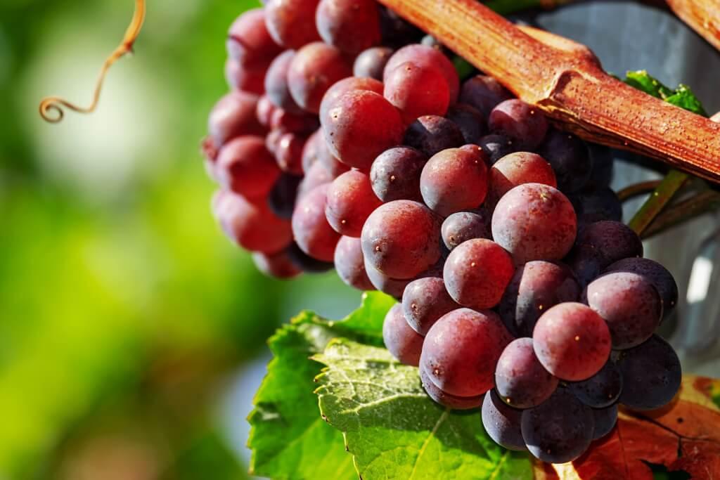 Rotwein Rebsorte