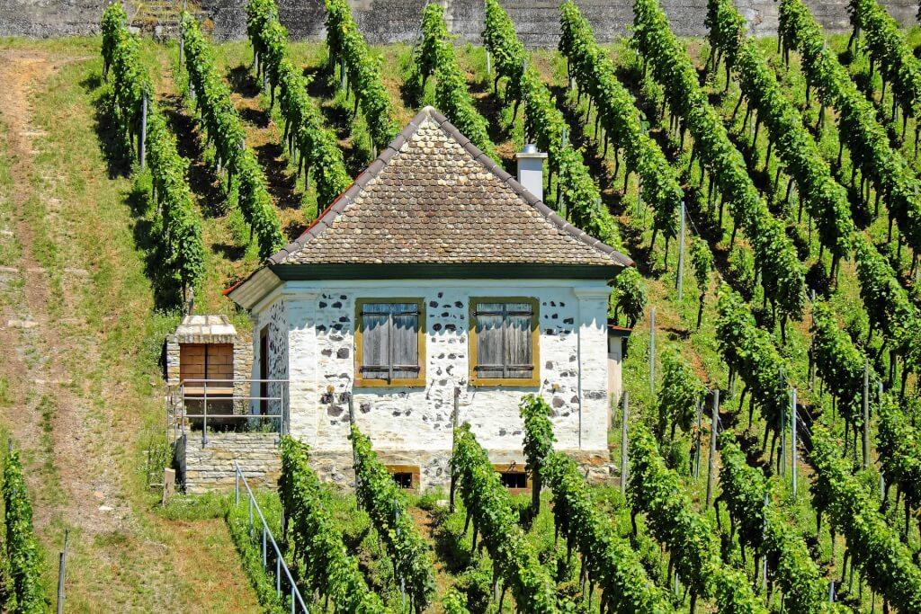 Rotwein Weinbergspflege
