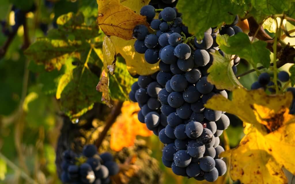 Weinprobe in geselliger Runde Trauben