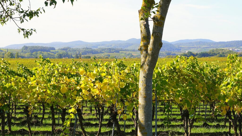 vineyard 4546431 1920