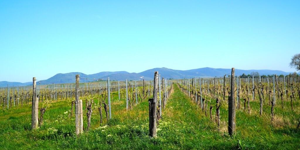 Pfalz Weinlandschaft