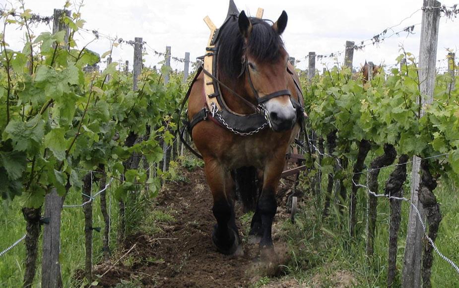 Pferd Weinberg horse vineyard