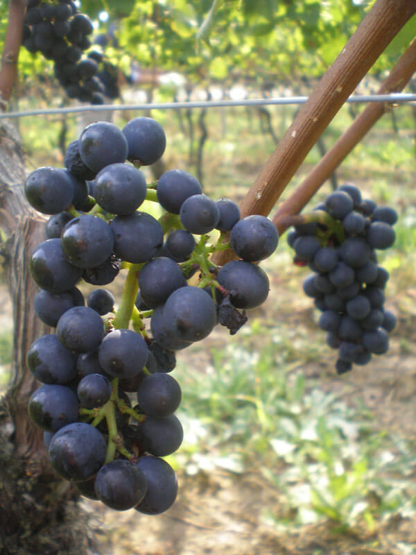 Grape.Fruehburgunder 1