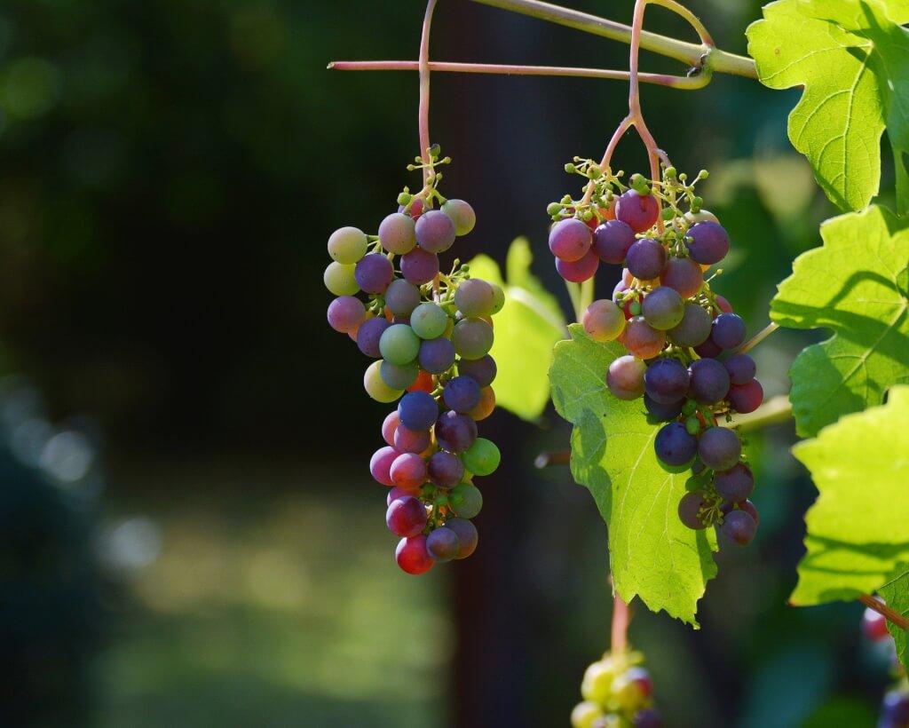 grapes 1659118 1920 1