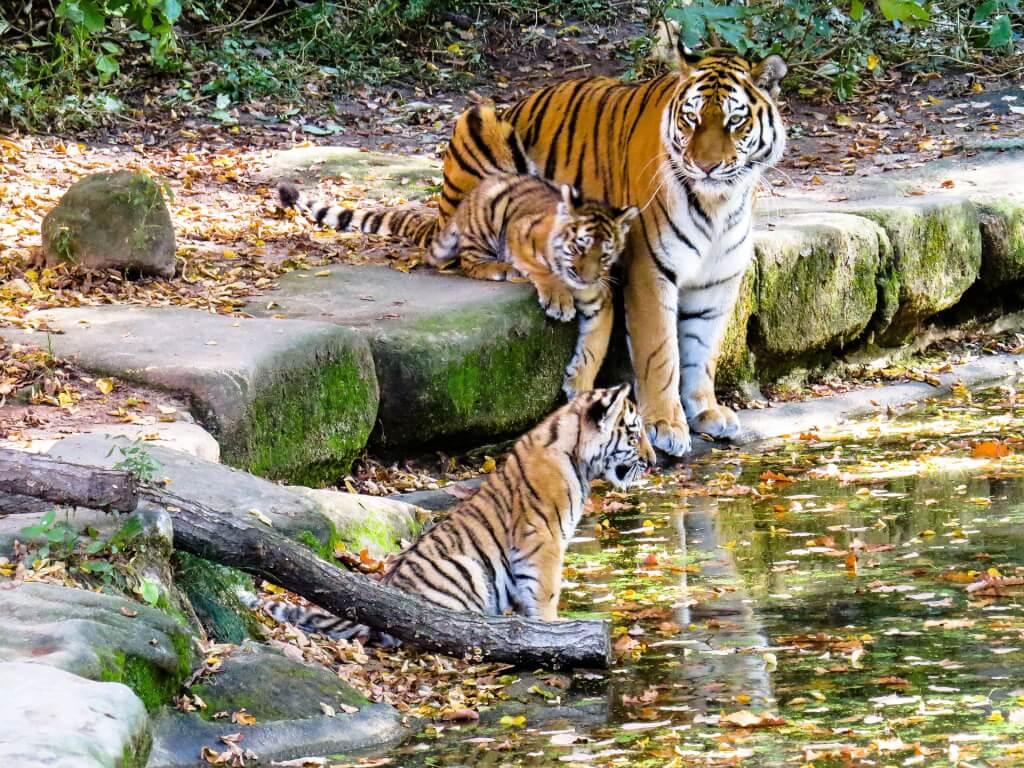 tiger 987684 1920