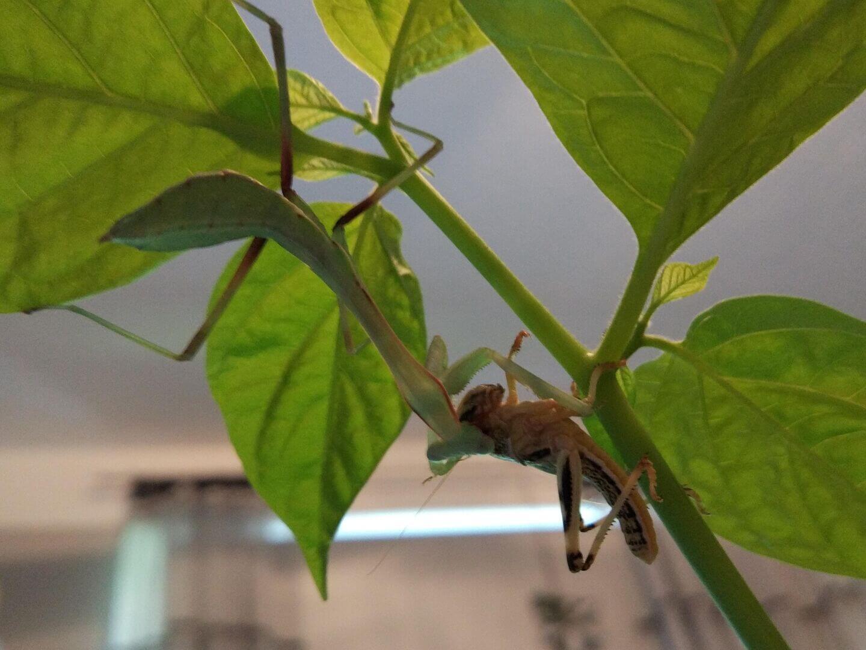 daniel biegler matilda first meal locust
