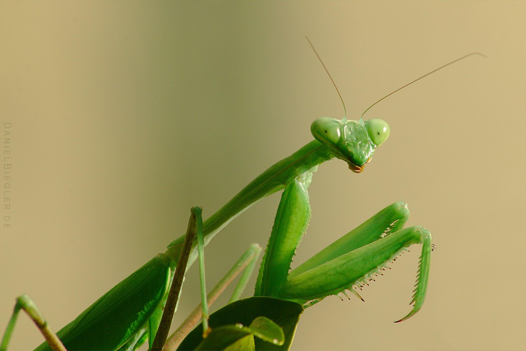 Mantis Matilda
