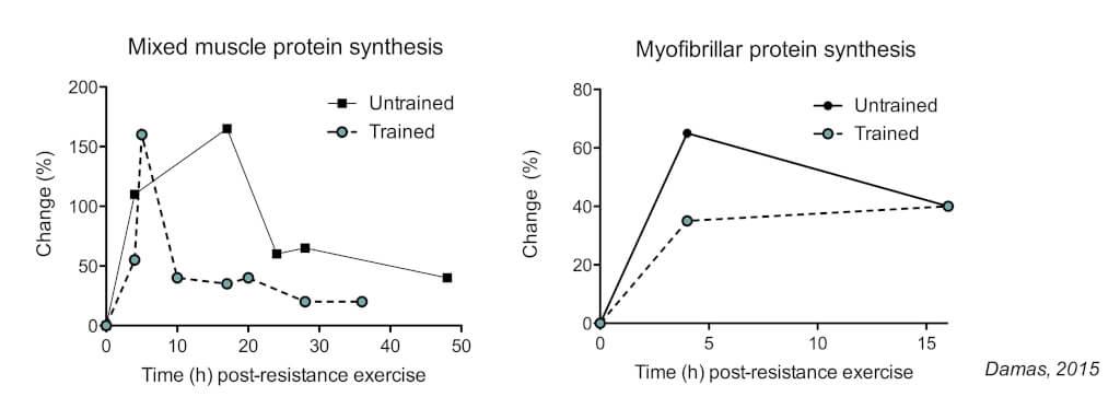 muskelproteinsynthese und trainingsvolumen
