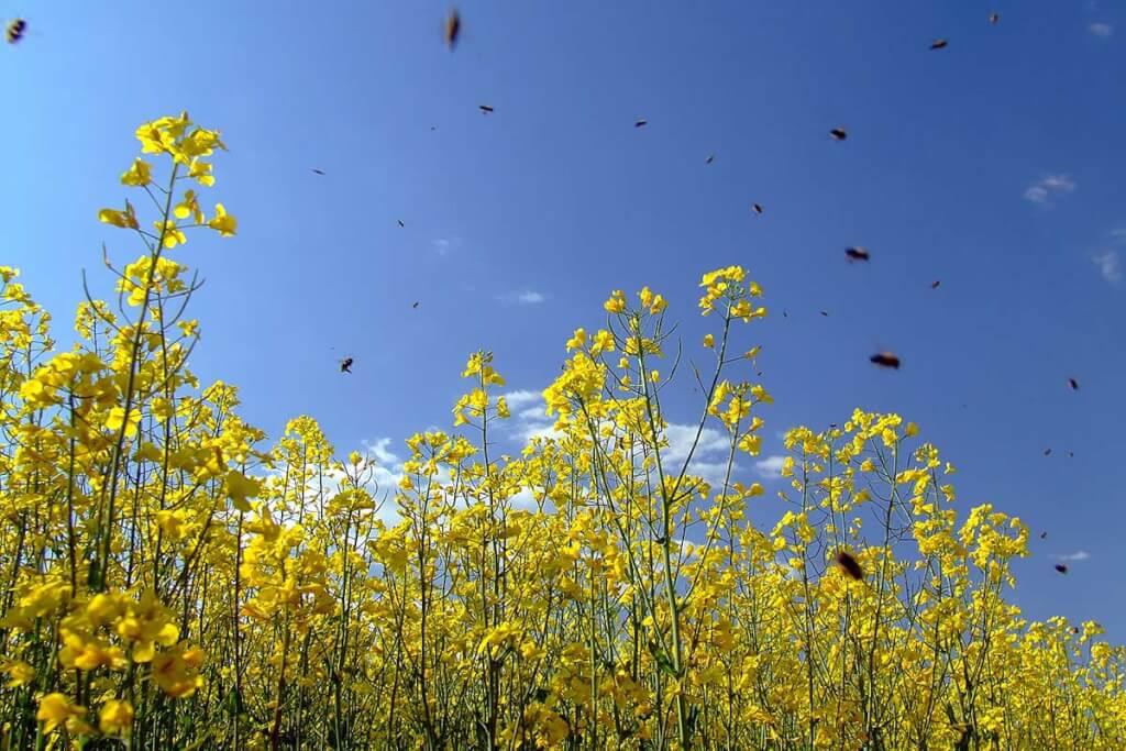 Rapsfeld mit Bienen