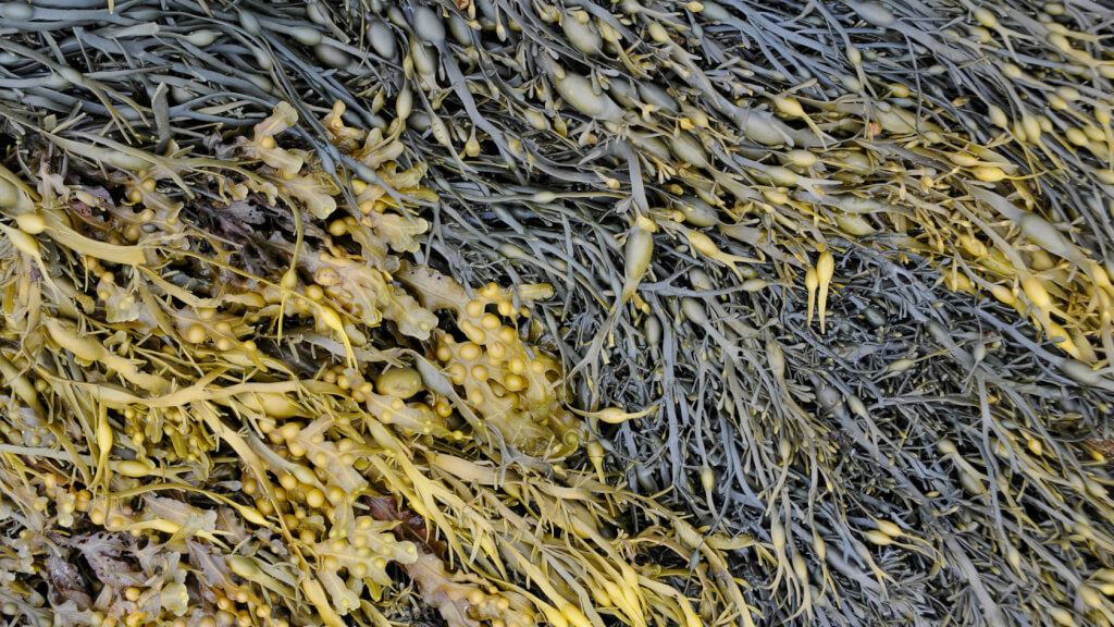 Tang Bretagne - Was sind Algen?