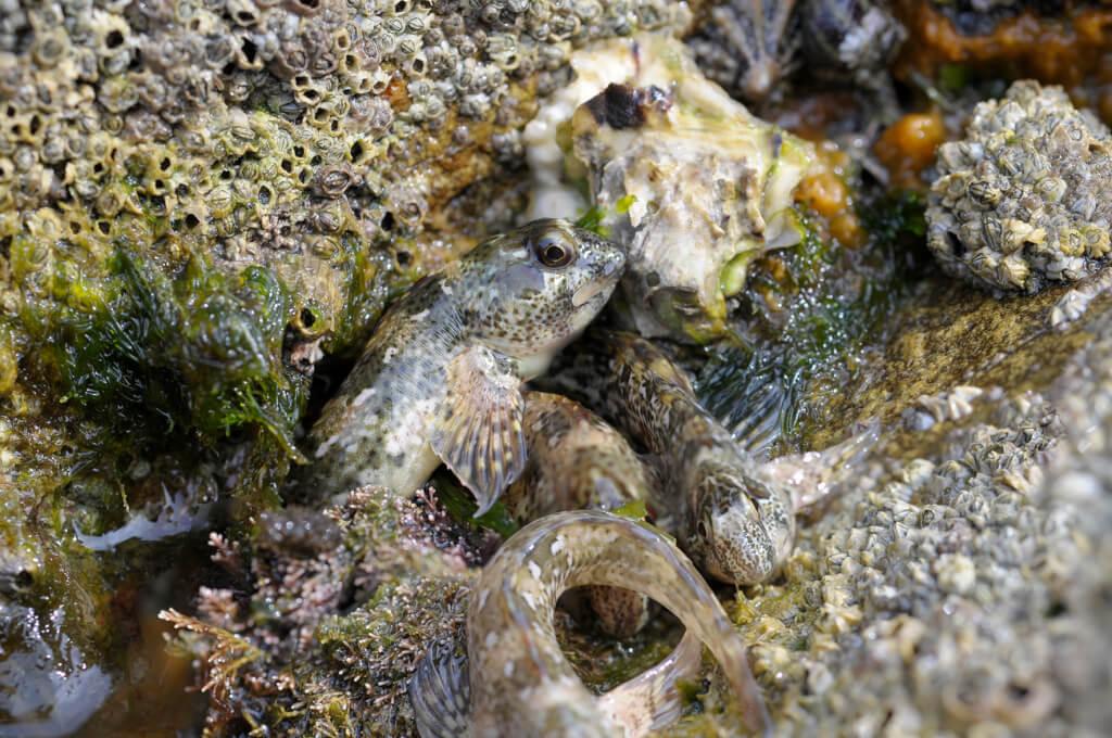 Grüne Schleimfische an Land, Lipophrys pholis