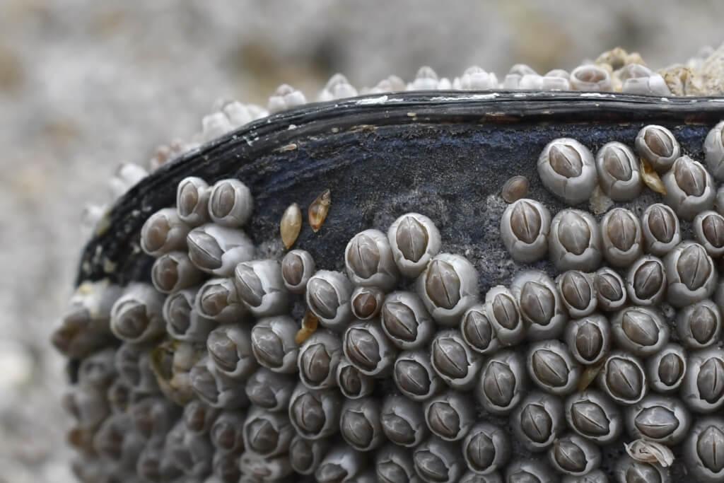 Seepocken Cyprislarven