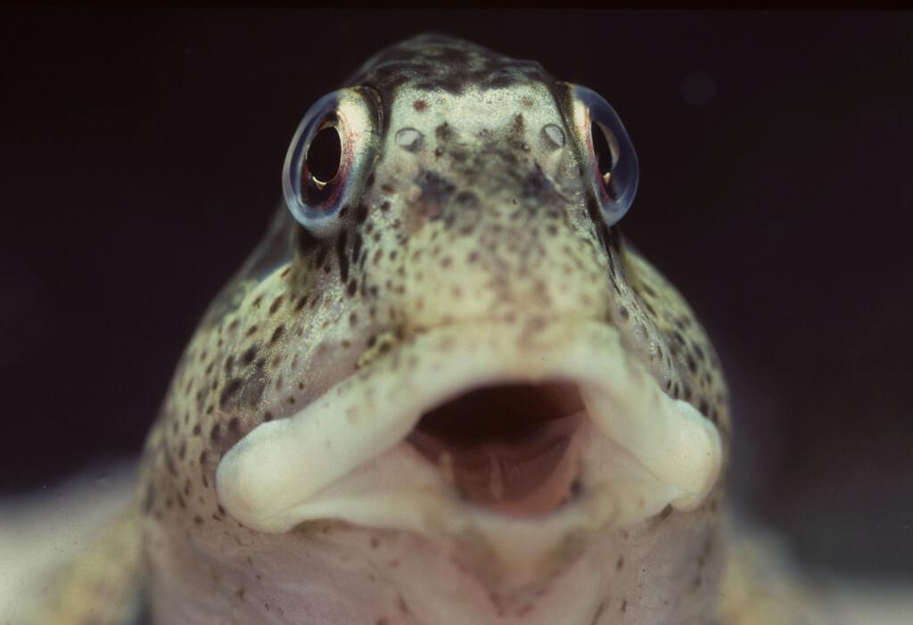 Amphibische Fische – Wie Schleimfische bei Ebbe an Land überleben