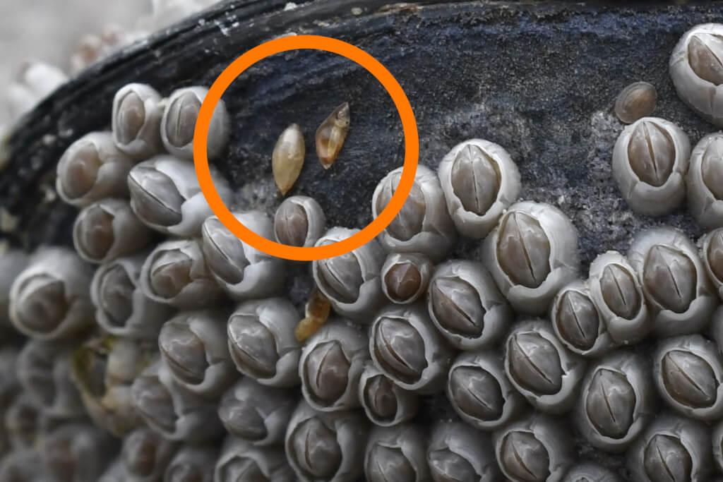 Seepockenlarven Cyprislarven 2018 04 Bretagne 0249 ab2