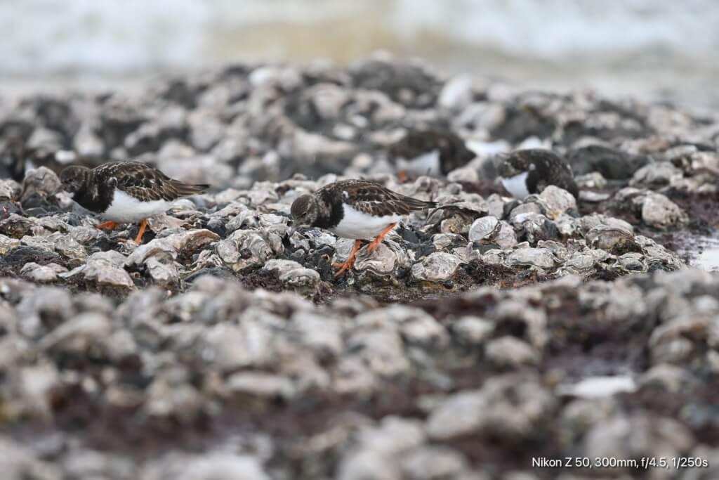 Fortpflanzung der Muscheln Z50 0527