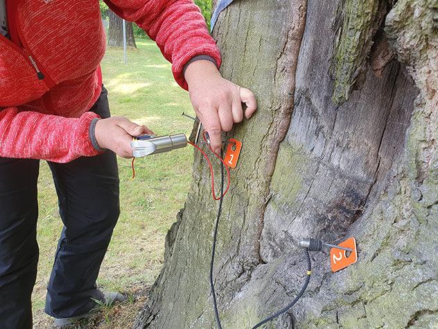 Baumkontrolle einer Stieleiche mit Schalluntersuchung