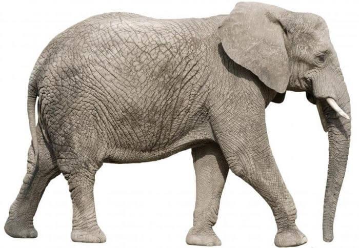 elephant 7f475657