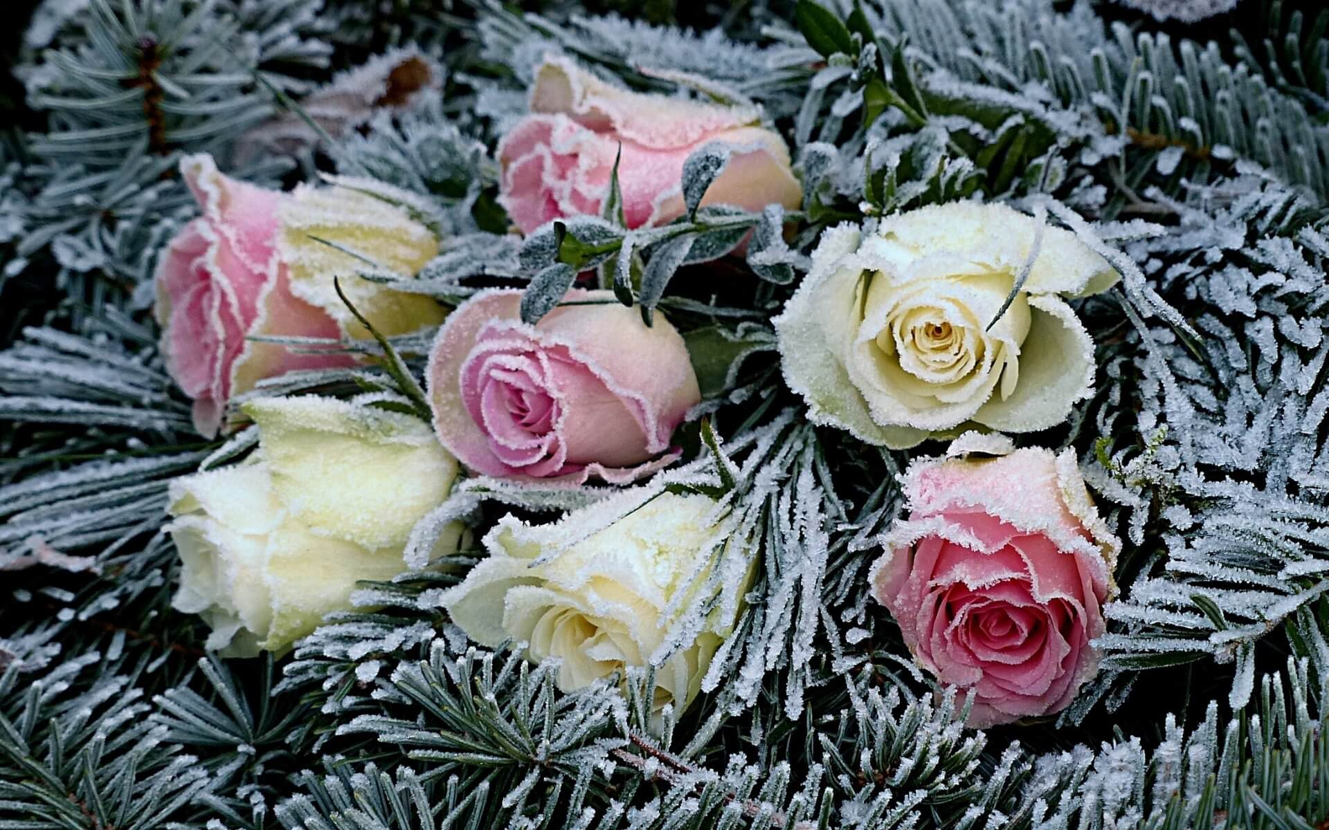 blogimage rosen winter frost