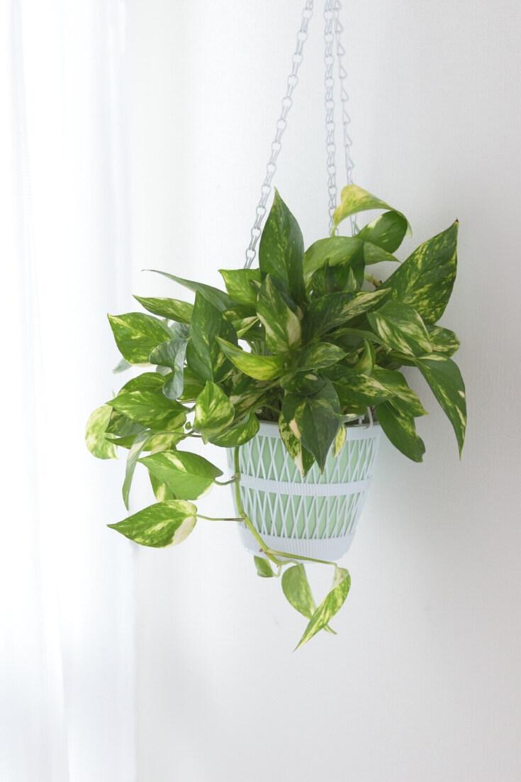Efeutute | 5 Pflanzen, die dein Zimmer zur Oase machen | MILAMAGAZIN