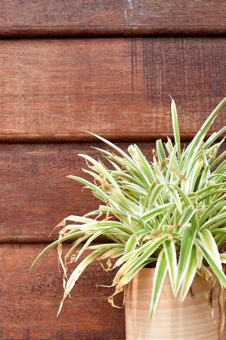 Grünlilie | 5 Pflanzen, die dein Zimmer zur Oase machen | MILAMAGAZIN