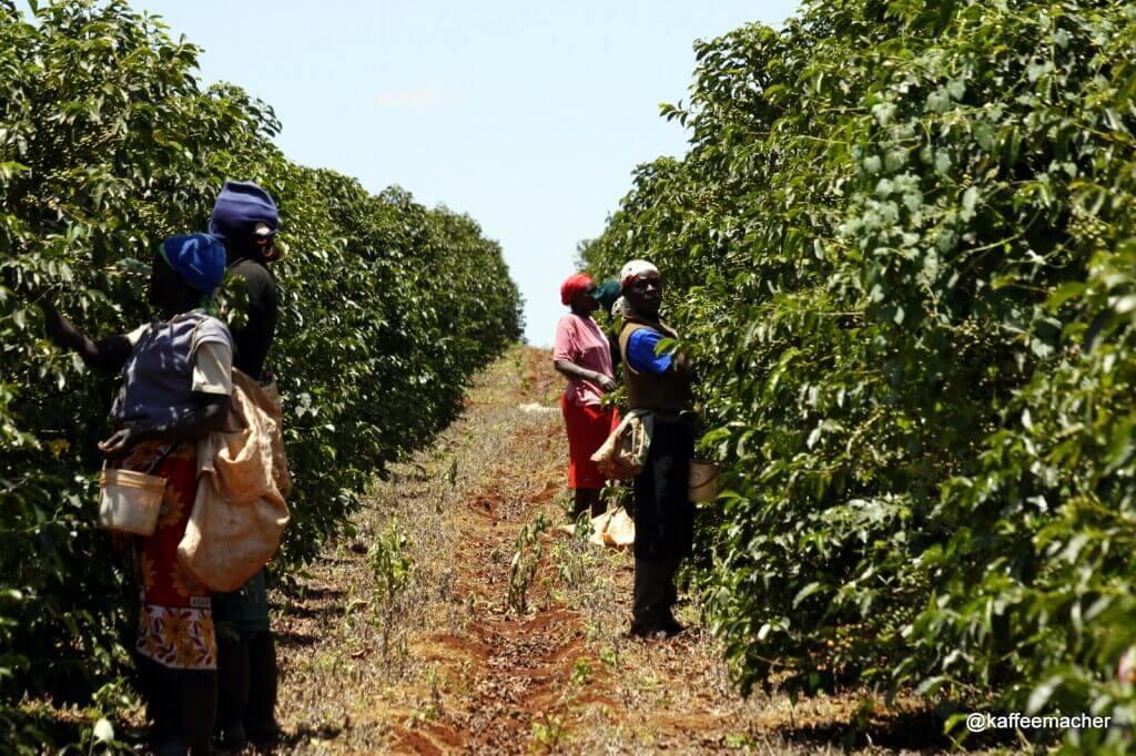 Pflücker in Kenia