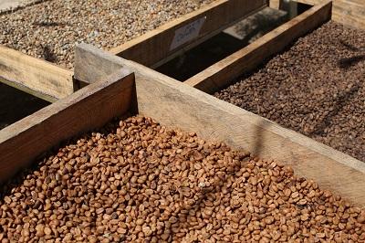 Honeys, Naturals, Anaerobics - verschiedene Aufbereitungsarten Seite an Seite auf El Arbol, Nicaragua (J. Galea)