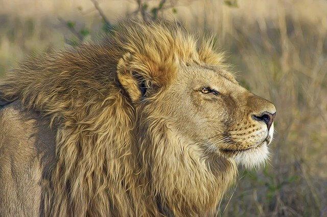 lion 515028 640