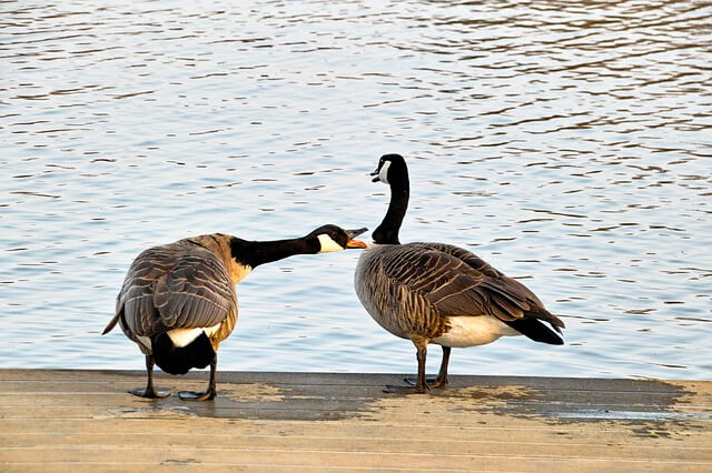 wild geese 716289 640