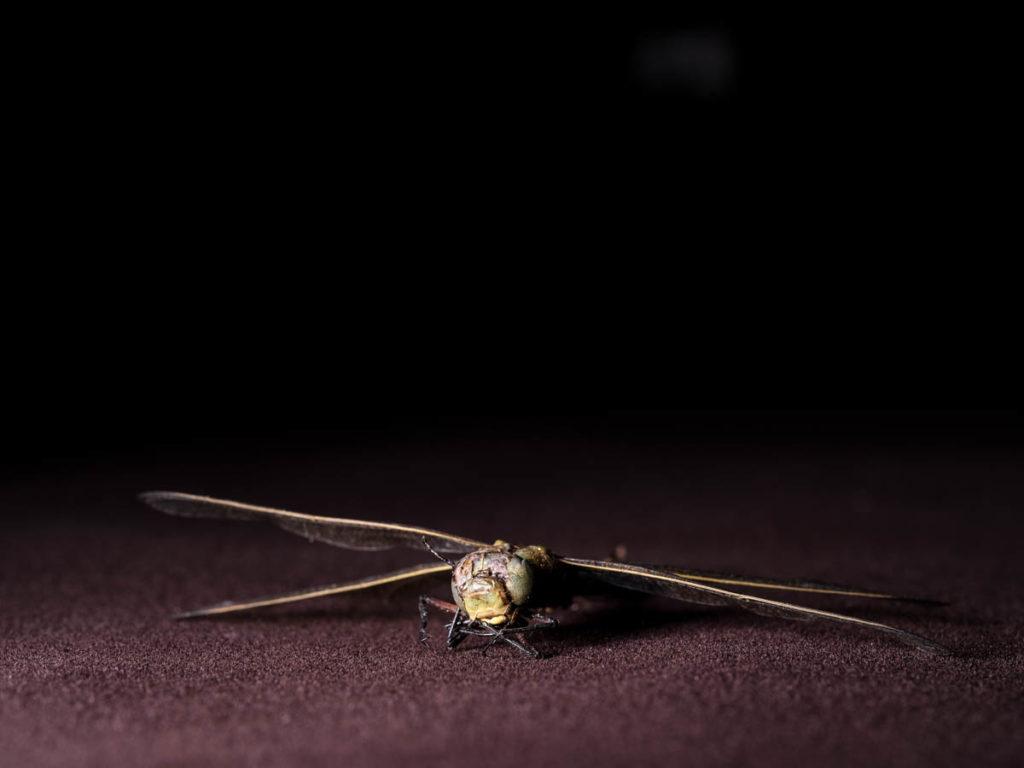 Diese tote Libelle fotografierte ich im Studio mit der GFX 50s und dem 120mm Makro Objektiv.