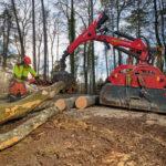 Forstwarte sägen einen Baumstamm in fünfmeter lange Stücke.